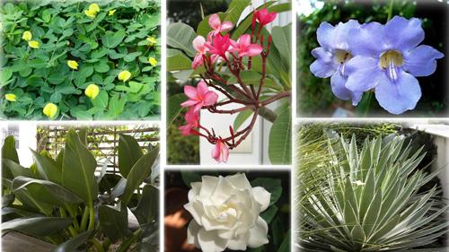 Plantas curingas