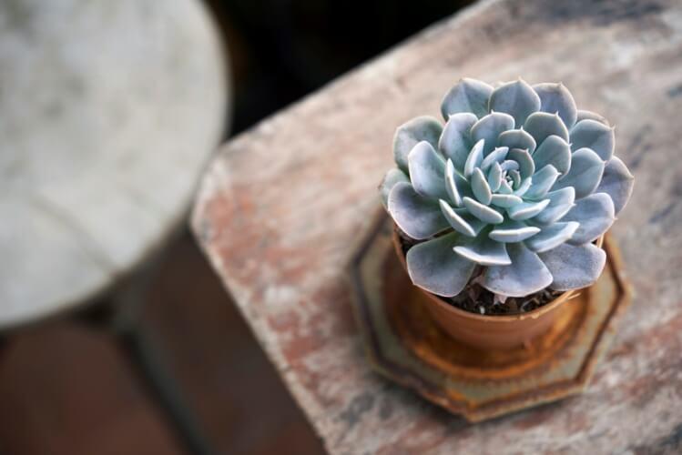 Como cultivar as suculentas rosas de pedra em casa